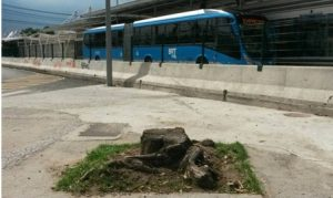 Trees cut down for the BRT