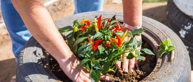 Pepper planting - Photo by Diogo de la Vega